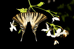 Scarce swallowtail butterfly {Iphiclides podalirius} resting on branch with flowers, Spain.  -  Jose B. Ruiz