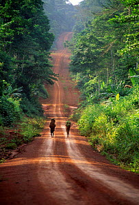 Ba'Aka pygmies carrying food to village along timber track. Logging roads, built to exploit remote forest areas,  displace indigenous communities from their traditional forest lands and grant access t...  -  Karl Ammann