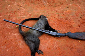 White nosed guenon hunted with rifle for bushmeat, South east Cameroon, Central Africa. Firearms have been ubiquitous in forests since colonial times and have greatly improved hunting success, particu... - Karl Ammann