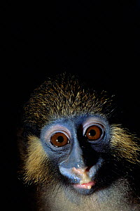 Moustached monkey portrait (Cercopithecus cephus), Central Africa. - Karl Ammann