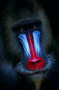 Male mandrill portrait (Mandrillus sphinx), Central Africa.  -  Karl Ammann