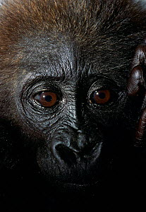 Baby Western lowland gorilla (Gorilla g gorilla) head portrait - victim of the illegal bushmeat and pet trade, Pointe Nior, Congo, Central Africa. After shooting an adult gorilla, bushmeat hunters cap...  -  Karl Ammann