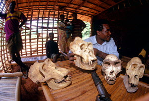 Hunter and his family, displaying skulls of gorillas he has shot, Cameroon, West Africa. - Karl Ammann