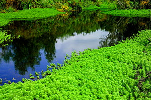 Parrot's feather {Myriophyllum sp} a highly invasive, non native plant, choking a village pond in Devon, UK  -  Adrian Davies