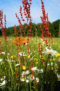 Silver washed fritillary butterfly {Argynnis paphia} in summer meadow, UK. Oxeye daisy, dock and buttercup  -  Steve Knell