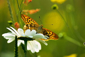 Silver washed fritillary butterfly {Argynnis paphia} in summer meadow, UK  -  Steve Knell