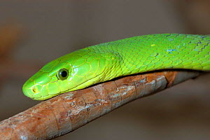 Eastern green mamba {Dendroaspis angusticeps} South Africa  -  Tony Phelps