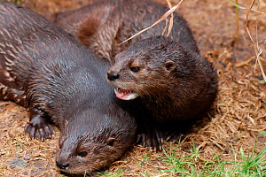Spotted-necked otters {Lutra maculicollis} South Africa  -  Tony Phelps