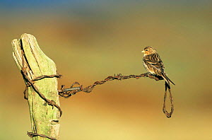 Twite {Acanthis flavirostris} perched on wire fence, UK.  -  Steve Knell