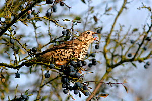 Mistle thrush {Turdus viscivorus} perching on Blackthorn {Prunus spinosa} eating Sloe berry, Warwickshire, UK.  -  Mike Wilkes