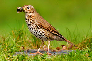 Song thrush {Turdus philomelos} with snail shell, St. Marys, Isles of Scilly, UK.  -  Mike Wilkes