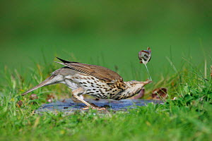 Song thrush {Turdus philomelos} breaking snail shell on anvil, St. Marys, Isles of Scilly, UK.  -  Mike Wilkes