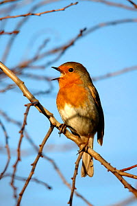 Robin (Erithacus rubecula) singing in winter. Cornwall, UK Not available for ringtone/wallpaper use.  -  Ross Hoddinott