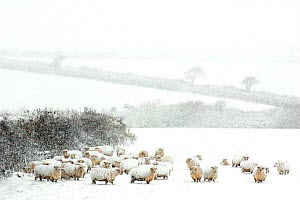 Domestic Sheep {Ovis aries} in winter blizzard, nr Bradworthy, Devon, UK  -  Ross Hoddinott