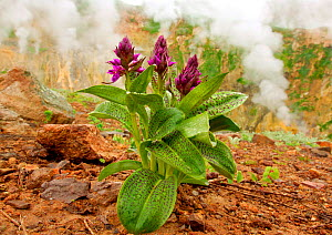 Keyflower orchid {Dactylorhiza aristata} in flower, with geothermal steam in background, Valley of the Geysers, Kronotsky Zapovednik Reserve, Kamchatka, Russia.  Note - The orchid flowers earlier in t...  -  Igor Shpilenok