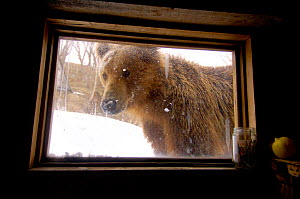 Kamchatka Brown bear (Ursus arctos beringianus) Valley of the Geysers, Kronotsky Zapovednik Reserve, Kamchatka, Russia. Bear appeared at photographer's window one morning.  -  Igor Shpilenok