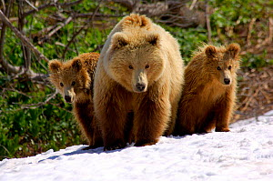 Brown bear {Ursus arctos} mother with cubs, Valley of the Geysers, Kronotsky Zapovednik, Russia.  -  Igor Shpilenok
