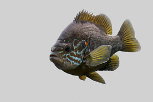 Pumpkinseed fish {Lepomis gibbosus} front view against grey background, captive.  -  Dave Bevan Photography