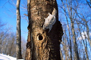 Siberian flying squirrel {Pteromys volans} approaching nest hole, Japan - Aflo