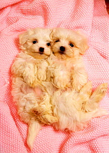 Domestic dog, Two white puppies lying down on their back on pink blanket looking up - Aflo