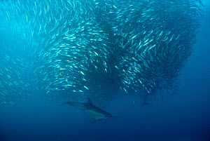 "Common dolphins (Delphinus delphis) preying on ""baitball"" of sardines (Sardinops sagax), South Africa.  -  Doug Perrine"