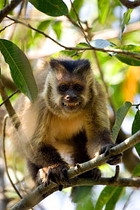 Brown capped capuchin (Cebus apella) looking menacing. Forest Is, Pantanal, Brazil.  -  Christophe Courteau