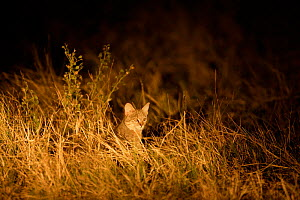 African wild cat hunting at night (Felis silvestris lybica) Okavango Delta, Botswana  -  Christophe Courteau