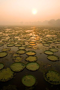 Lily pads of Giant / Royal water lily (Victoria amazonica) Pantanal, Brazil.  -  Christophe Courteau