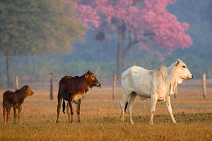 Zebu cattle in the Pantanal, Brazil.  -  Christophe Courteau