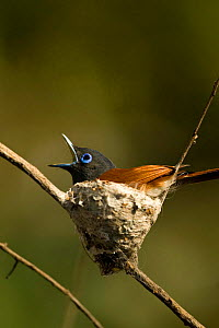 African Paradise Flycatcher (Terpsiphone viridis) male sitting on nest on small branches in the shade. Okavango Delta, Botswana - Christophe Courteau