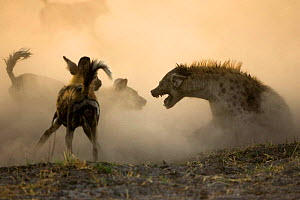 Fighting between a pack of 21 African Wild Dogs {Lycaon pictus} and the dominant female of a clan of Spotted Hyaenas (Crocuta crocuta) Northern Okavango Delta, Botswana  -  Christophe Courteau