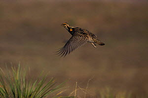 Greater Prairie Chicken {Tympanuchus cupido} in flight, eastern Wyoming prairie, USA.  -  Jeff Vanuga