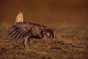 Male Sharp tailed grouse {Tympanuchus phasianellus} performing mating display on spring dancing ground, Wyoming, USA. - Jeff Vanuga