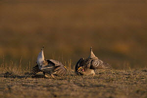 Sharp tailed grouse {Tympanuchus phasianellus} males performing mating display on spring dancing ground. Wyoming, USA. - Jeff Vanuga