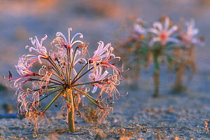 Nerine / Vlei lily (Nerine laticoma) flowering along dry riverbed after the rains, Kgalagadi NP, Kalahari desert, South Africa  -  Philippe Clement