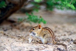 Four striped grass mouse (Rhabdomys pumilio) eating breadcrumbs at picnic spot, Kgalagadi NP, Kalahari desert, South Africa  -  Philippe Clement