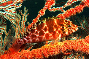 Spotted hawkfish {Cirritichthys oxycephalus}  Andaman Sea, Indo-pacific - Brent Hedges