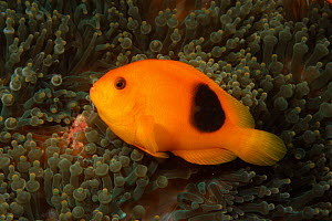 Red saddleback anemonefish {Amphiprion ephippium} Andaman Sea, Indo-pacific  -  Brent Hedges