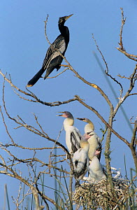American darter {Anhinga anhinga} adult at nest with fledgling chicks, Welder Wildlife Refuge, Sinton, Texas, USA. - Rolf Nussbaumer