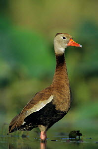 Black bellied whistling duck {Dendrocygna autumnalis} profile, Welder Wildlife Refuge, Sinton, Texas, USA.  -  Rolf Nussbaumer