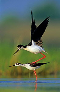 Black necked stilt {Himantopus mexicanus} pair mating, Welder Wildlife Refuge, Sinton, Texas, USA  -  Rolf Nussbaumer