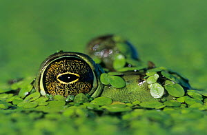 Close-up of a Bullfrog eye {Rana catesbeiana} with head camouflaged in duckweed, Welder Wildlife Refuge, Sinton, Texas, USA. - Rolf Nussbaumer
