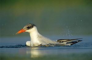 Immature Caspian tern {Hydroprogne caspia} bathing in water, Welder Wildlife Refuge, Sinton, Texas, USA.  -  Rolf Nussbaumer
