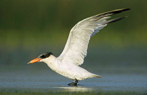Immature Caspian tern {Hydroprogne caspia} stretching wings, Welder Wildlife Refuge, Sinton, Texas, USA.  -  Rolf Nussbaumer