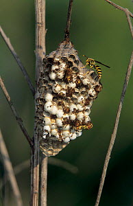 Fire ants {Solenopsis invicta} attacking and killing Paperwasp colony, Welder Wildlife Refuge, Sinton, Texas, USA. - Rolf Nussbaumer