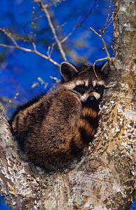 Raccoon {Procynon lotor} adult sleeping in tree fork, Welder Wildlife Refuge, Sinton, Texas, USA.  -  Rolf Nussbaumer