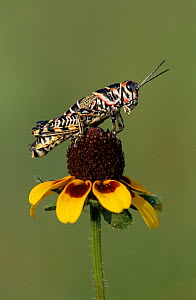 RF- Painted Grasshopper (Dactylotum bicolor) adult on Clasping-leaved Coneflower (Dracopis amplexicaulis). Welder Wildlife Refuge, Sinton, Texas, USA. (This image may be licensed either as rights mana... - Rolf Nussbaumer