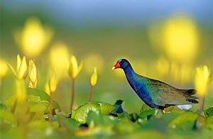American purple gallinule {Porphyrio martinicus}   adult on Yellow Water Lily pads {Nuphar lutea} Welder Wildlife Refuge, Sinton, Texas, USA.  -  Rolf Nussbaumer