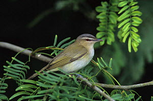 Red-eyed Vireo {Vireo olivaceus} profile, South Padre Island, Texas, USA.  -  Rolf Nussbaumer