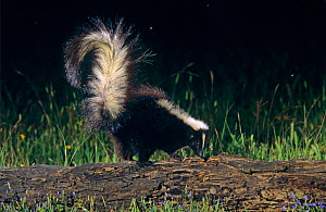 Striped skunk {Mephitis mephitis} adult, Welder Wildlife Refuge, Sinton, Texas, USA. - Rolf Nussbaumer